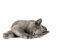 British cat beautiful domestic gray or blue short hair with yellow eyes on a white background Royalty Free Stock Photography