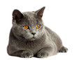 British cat beautiful domestic gray or blue short hair with yellow or golden eyes on white background Stock Image