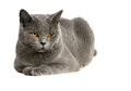 British cat portrait of adorable blue shorthair on a white background Royalty Free Stock Images