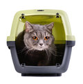 British cat portrait of gray inside a carrier box on white background Royalty Free Stock Photos