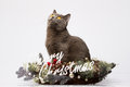 British cat posing with the words Merry Christmas on a white background Royalty Free Stock Photo
