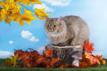 British cat is resting on a stump autumn day Royalty Free Stock Photo