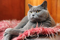 British cat shorthair lying on sofa Royalty Free Stock Photos
