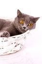 British cat on white background the is lying in a basket a Stock Image
