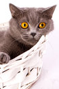 British cat on white background the is lying in a basket a Royalty Free Stock Image