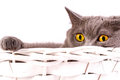 British cat on white background the is lying in a basket a Royalty Free Stock Photography