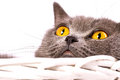 British cat on white background the is lying in a basket a Royalty Free Stock Photo
