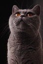 British gray cat Royalty Free Stock Photography