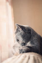 British gray cat lying in the window close up Stock Photo