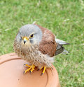 British kestrel bird of prey photo a beautiful perching displayed by sanctuary many hoots kent Stock Photo