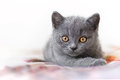 British kitten adorable blue shorthair Royalty Free Stock Photo