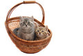 British kittens Stock Image