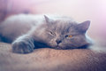 British longhair cat lying on the blanket Royalty Free Stock Image