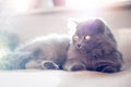 British longhair cat lying on the blanket Stock Images