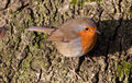 British Robin (Erithacus rubecula) Stock Photography