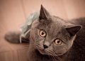 British short hair cat looking at camera close up Royalty Free Stock Photography