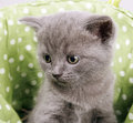 British short hair kitten Stock Photography
