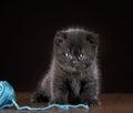 British Short Hair Kitten And ...