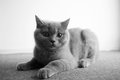 British shorthair baby on a carpet kitten sitting grey Royalty Free Stock Photo