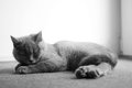 British shorthair baby on a carpet kitten sleeping grey Stock Photos