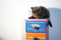British shorthair baby kitten on a coloured drawer Royalty Free Stock Photography