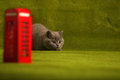 British shorthair baby kitten green background Stock Images