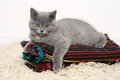 British shorthair baby kitten lying on some carpets Stock Image
