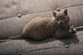 British shorthair baby kitten sitting on the bed Royalty Free Stock Photography