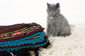 British shorthair baby kitten sitting on a fleece blanket Stock Images