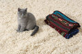 British shorthair baby kitten sitting on a fleece blanket Stock Photography