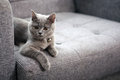 British shorthair baby kitten sitting on a grey armchair Stock Images