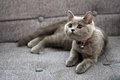 British shorthair baby kitten sitting on a grey armchair Royalty Free Stock Images