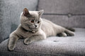 British shorthair baby kitten sitting on a grey armchair Royalty Free Stock Photo