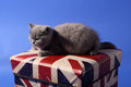 British shorthair baby kitten sitting on a union flag branded box Royalty Free Stock Image