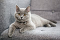British shorthair baby orange eyes kitten sitting on a grey armchair Stock Images