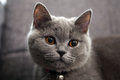 British shorthair baby portrait of a kitten close up view Royalty Free Stock Photo