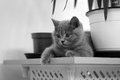 British shorthair baby and a pot of flower kitten lying near Stock Images