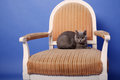 British shorthair baby sitting on an armchair blue background Stock Photos
