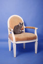 British shorthair baby sitting on an armchair blue background Stock Images