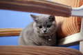 British shorthair baby sitting on an armchair blue background Royalty Free Stock Photography