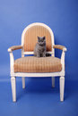 British shorthair baby sitting on an armchair blue background Stock Photo