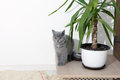 British shorthair baby sitting near a pot of flower Royalty Free Stock Images
