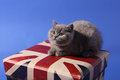 British shorthair baby sitting on a union jack box blue background Royalty Free Stock Photos