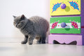 British shorthair baby standing near a coloured drawer Royalty Free Stock Photos