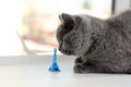 British shorthair baby and tour eiffel paris france Stock Image