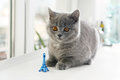 British shorthair baby and tour eiffel paris france Stock Photo