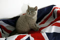 British shorthair baby on a union jack flag Royalty Free Stock Photo