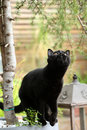 British Shorthair black cat portrait among branches Royalty Free Stock Photo