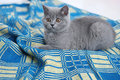 British shorthair on a blue rug small kitten sitting carpet Royalty Free Stock Photography
