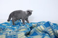British shorthair on a blue rug small kitten walking carpet Royalty Free Stock Photo